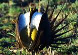 A male sage grouse, left, struts with two other males during mating season in April 2000, in Northern Nevada.