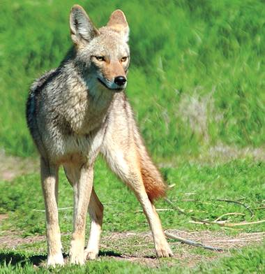 A battle is brewing in Paradise Palms—a neighborhood otherwise known for its charming midcentury modern homes. Coyotes are stalking residents, snatching beloved pets and striking fear into the ...