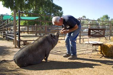 """Farmer Glenn"" Linsenbardt feeds a snack to Violet, a pot-bellied pig, at The Farm, 7222 West Grand Teton Drive, Sunday, March 23, 2014. STEVE MARCUS"