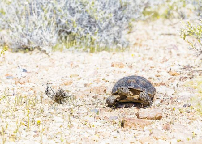 Why The Desert Tortoise Is So Important To Our Home In The Mojave Las Vegas Sun Newspaper