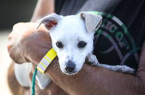 Greg Gautier holds Joy, a 13-week-old Chihuahua mix, during