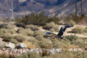 A Great Blue Heron flies at the Clark County Wetlands ...