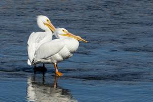 American White Pelicans rest in the Las Vegas Wash at the Clark County Wetlands Park, Wednesday, Feb. 5, 2020. WADE VANDERVORT