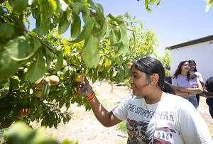 Sofia Mendoza, 12, a camper from Henry's Place, looks over a fruit tree Ahern Orchard Friday, July 31, 2020. Henrys Place is a summer camp for inner-city youth named after Las Vegas Metro Police Sgt. Henry Prendes, who killed in the line of duty in 2006.