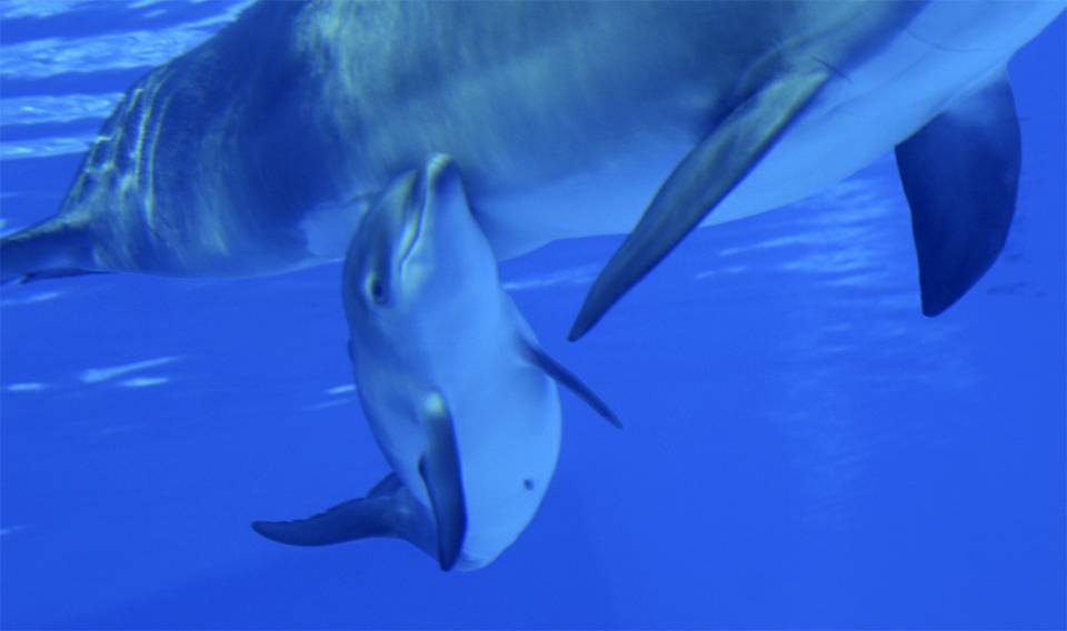 Mirage Dolphins