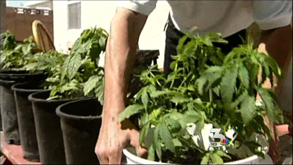 Medical marijuana affected by conflicting laws
