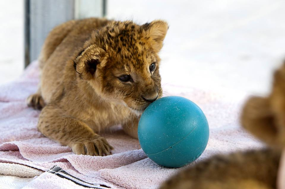 Lion Habitat Welcomes 7 Cubs
